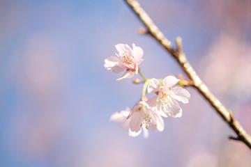 cherry blossoms , sakura flower in close up