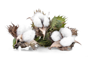 Cotton boll isolated on white