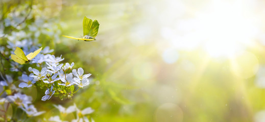 Fototapete - Easter spring flower background; fresh flower and yellow butterfly on green background