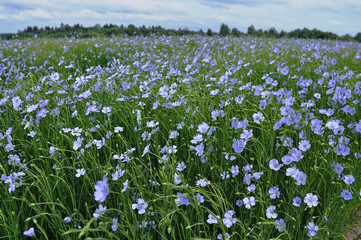Field of blooming blue flax