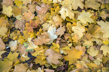 Fresh fallen yellow leaves in autumn