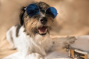 Musicians dog - Jack Russell Terrier