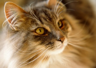Cute Norwegian Forest Cat