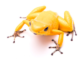 poison dart frog, Phyllobates terribilis golden yellow. Most poisonous animal from the Amazon rain forest in Colombia, a dangerous amphibian with warning colors. Isolated on white.