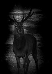 Hirsch in der Nacht