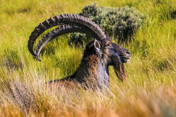 Fototapeta Walia Ibex (Capra walie), males. Ethiopia, Simien Mountains National Park obraz
