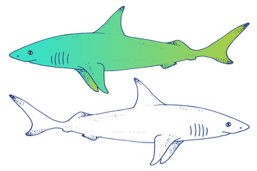 Vector shark hand drawn illustration with wild sea animal. Sea life sketch with predator dangerous fish. Set in outlines and color
