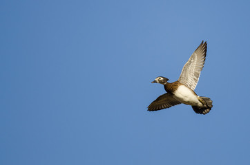 Female Wood Duck Flying in a Blue Sky