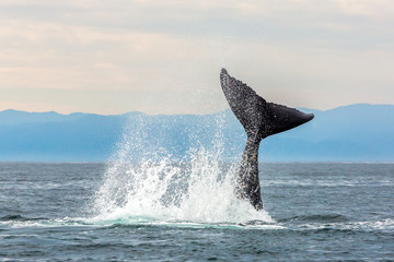 Whale swimming in Pacific Ocean, Gulf of California, Punta de Mita