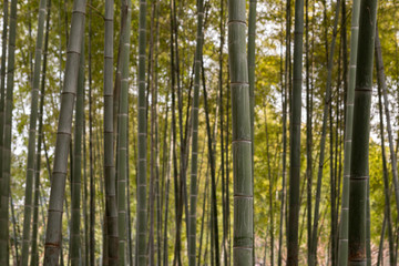 Bamboo tree background with a shallow depth of field