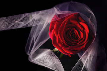 single red rose on a dark dramatic background