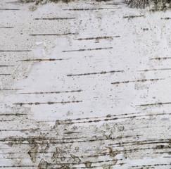 silver birch tree peel texture gray white background