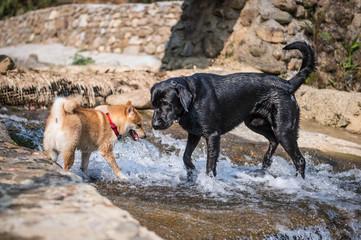 Shiba Inu and Labrador Retriever