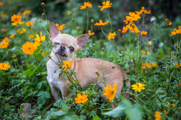 The small dog in flowers