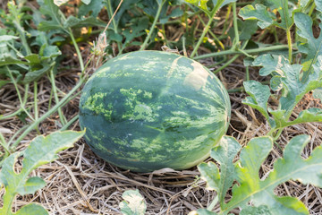ripe watermelon in field ready to harvest