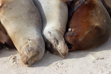 close up of three sea lions huddled on a sand beach sunbathing