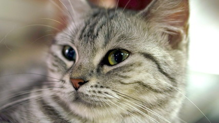 Funny American Short Hair Cat