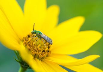 A metallic green sweat bee feeding on a wild sunflower