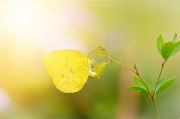 Beautiful yellow butterfly,butterfly of Thailand