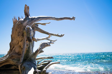 Wooden roots by the beach