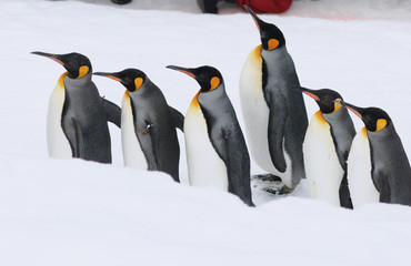 parade penguin in hokkaido