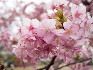 2017年の河津桜