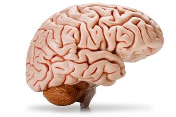 Plastic model of human brain