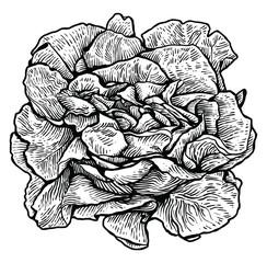 Lettuce, salad illustration, drawing, engraving, line art, vegetable, vector