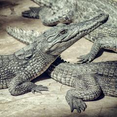 Crocodile babies.
