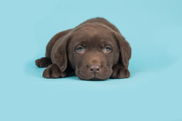 Chocolate brown labrador retriever puppy lying with it head on the floor on a blue background