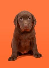Chocolate brown labrador retriever puppy sitting on a orange background
