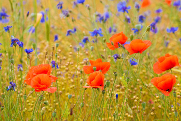 Poppies and cornflowers mixed in a field.
