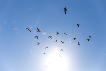 goose flying in the blue sky. birds of passage. mallard ducks come back from warm countries in spring. the concept of homecoming