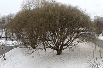 Opavshee winter tree.