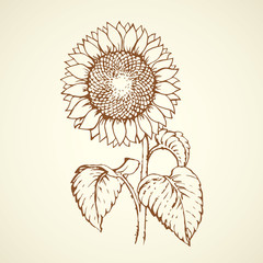 Vector illustration. Sunflower