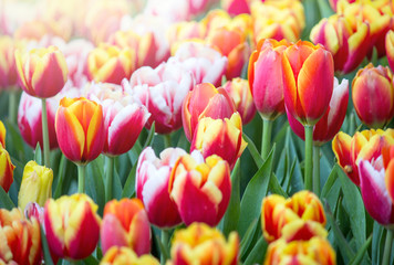 Acrylic Prints Tulip Colorful tulip flower fields blooming in the garden