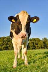 Holstein Friesian Milchkuh steht im Abendlicht auf einer Weide