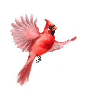 Watercolor Bird Red Northern Cardinal Flying Winter Christmas Hand Painted Greeting Card Illustration isolated on white background