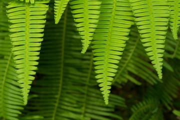 Fern Leaf background and close up