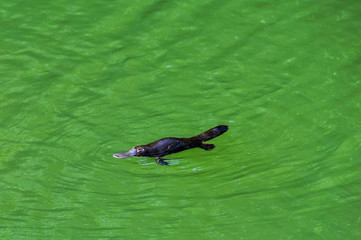 Platypus in Atherton Tablelands, Australia
