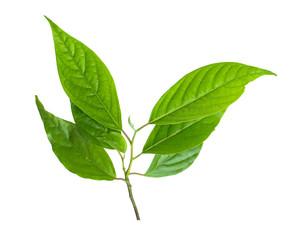Foto op Canvas Waterverf Illustraties leaf green isolate