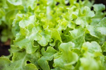 Fresh green lettuce on the field
