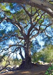 Mission Trails Oak Tree