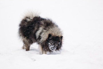 Funny Keeshond lying in the snow on the ground