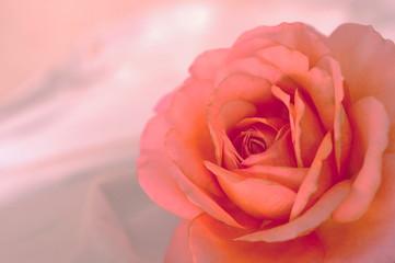 アプリコット色のバラ(クローズアップ)