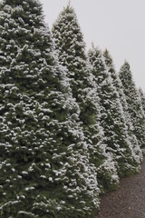 Row of Tall Douglas Fir, Christmas Trees Covered in a Blanket of Snow, a Winter Wonderland, Horizontal Format, Daytime - Willamette Valley, Oregon