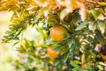 Close up single orange in orange farm.