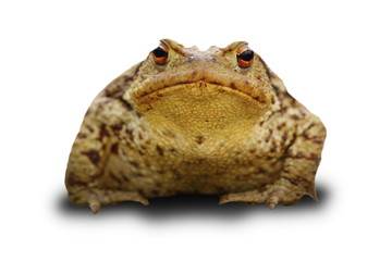bufo frog over white