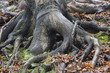 The roots of a tree on a slope.