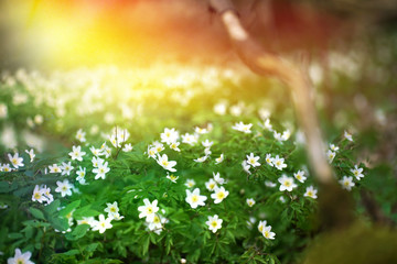 Flowering forest on sunset sunrise dawn with soft focus, spring floral botanic nature background wallpaper. Wild forest flowers snowdrops.